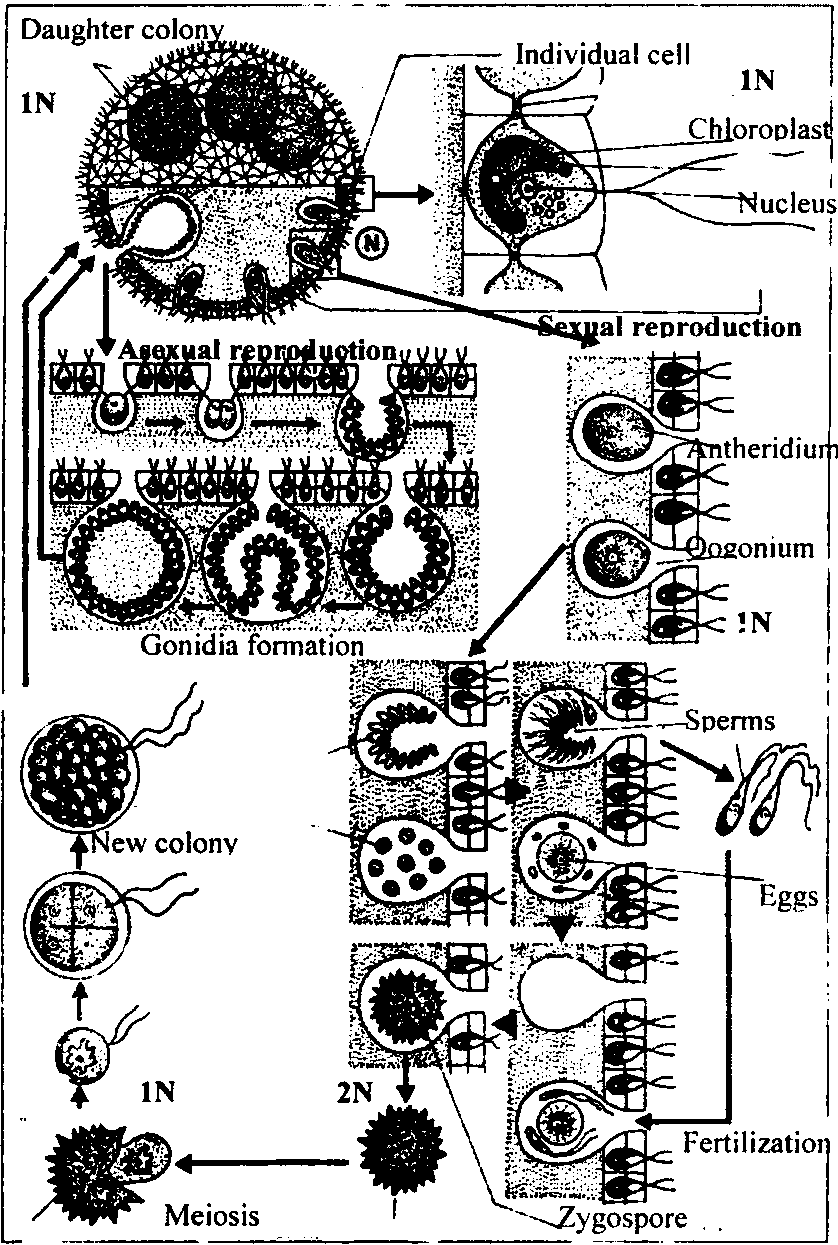 hight resolution of life cycle of volvox