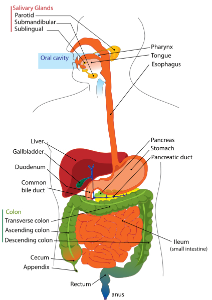 Picture Of Digestive System With Labels : picture, digestive, system, labels, Digestive, System