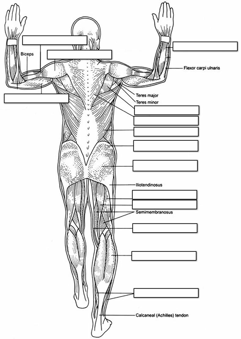 Anterior, Posterior, and Lateral muscle charts labeled