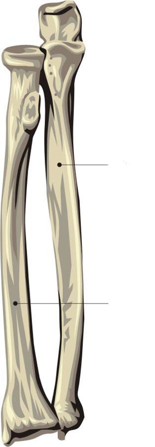 Body Of Sternum Diagram Human Body Skeleton