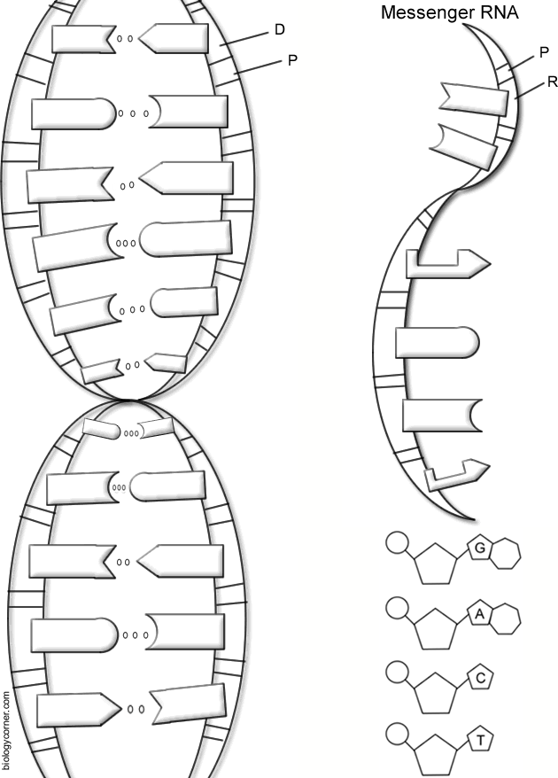 Dna The Double Helix Coloring Worksheet : double, helix, coloring, worksheet, Double, Helix,, Coloring, Worksheet