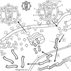 Virus Diagram Worksheet 2001 Ford Focus Radio Wiring Hiv Coloring
