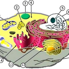 Plant And Animal Cell Diagram Unlabeled 2001 S10 Stereo Wiring Labeling