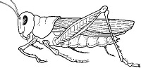Grasshopper Anatomy and Dissection