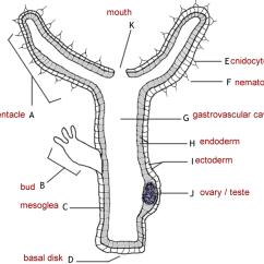 Label Microscope Diagram Worksheet L14 30 Diameter Hydra Anatomy Answer Key