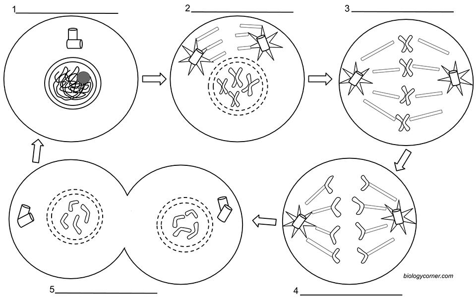 Printables of Mitosis Worksheet Answer Key Biology Corner
