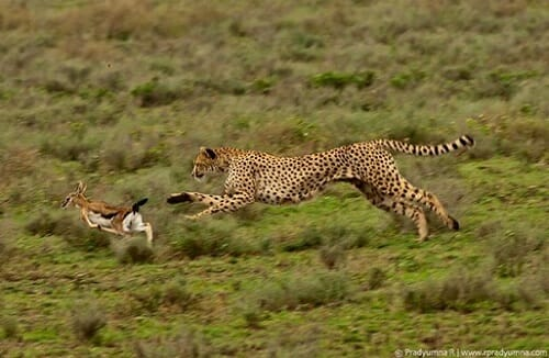 Predation Definition Types And Examples Biology