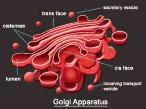 Golgi Apparatus  Definition, Function and Structure