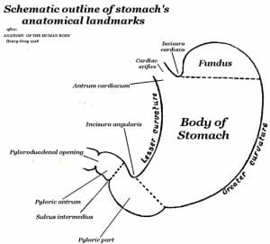 Pyloric Sphincter - Definition and Function   Biology ...