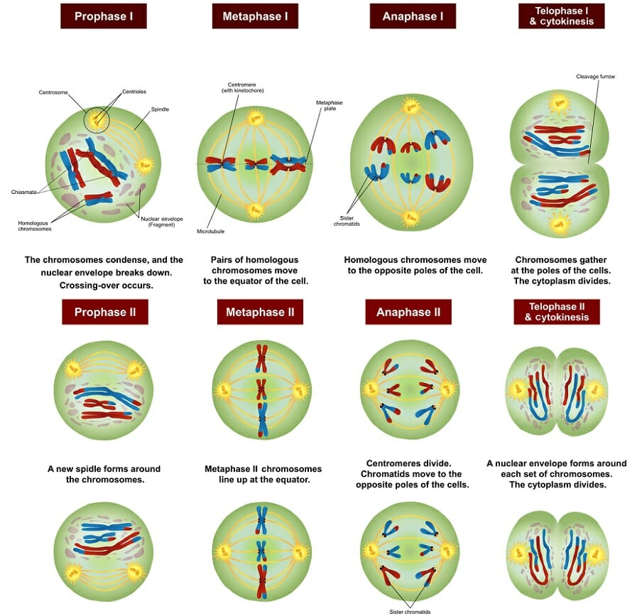 simple diagram of meiosis human eye unlabeled definition stages function and purpose biology dictionary