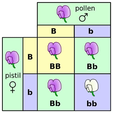 Flores de punnett square mendel