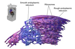 Endoplasmic Reticulum  Definition, Function and Structure