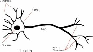 Apoptosis: Definition, Pathway, Examples and Quiz