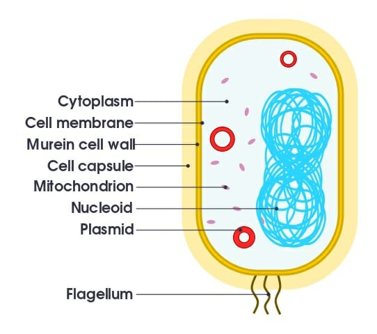 simple mitochondria diagram mitsubishi plc wiring organelle definition functions types and examples biology of bacterium