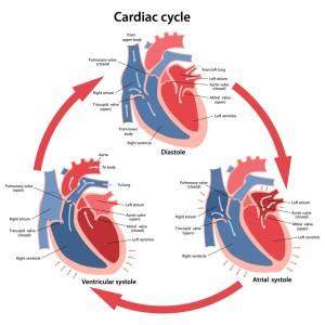 Cardiac Cycle  Definition and Phases | Biology Dictionary