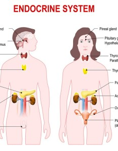 Endocrine system diagram also definition function organs  diseases biology rh biologydictionary