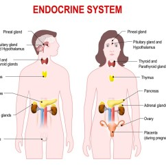 Endocrine System Diagram White Rodgers Type 91 Relay Wiring Definition Function Organs Diseases Biology