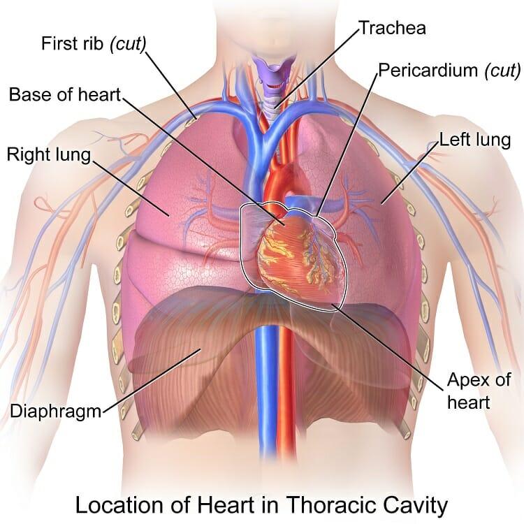 heart diagram inside worcester boiler wiring diagrams organ chest online thoracic cavity definition organs of biology skeletal