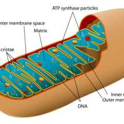 Mitochondrion Structure Diagram Chemical Process Flow Software Mitochondria Definition Function Biology Dictionary Of