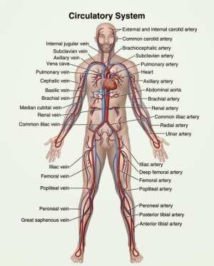 Circulatory System  Definition, Function and Parts | Biology Dictionary