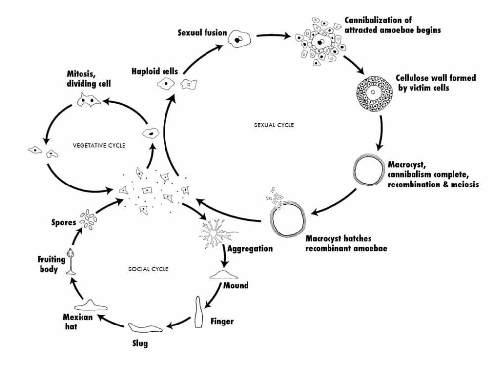 medium resolution of dictyostelium discoideum life cycle
