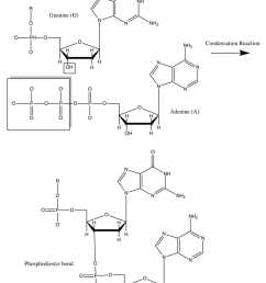 a sequencing reaction mixture however would have a small proportion of modified nucleotides that cannot form this covalent bond due to the absence of a  [ 820 x 1056 Pixel ]