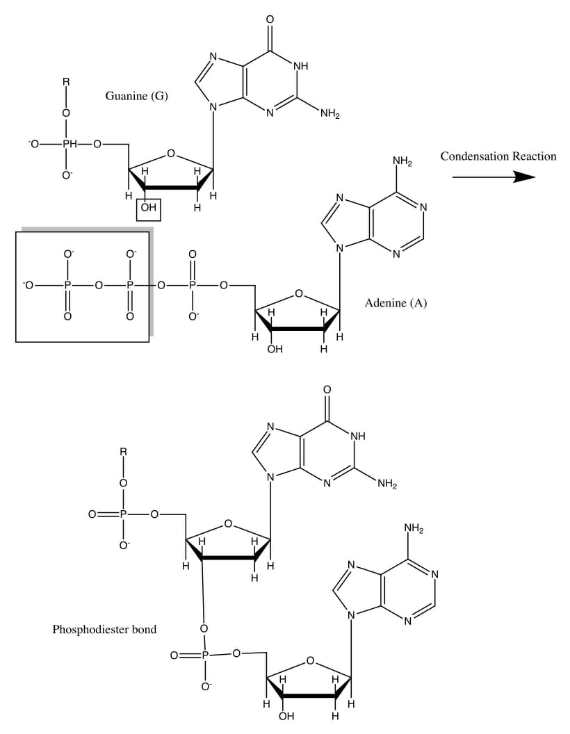 medium resolution of a sequencing reaction mixture however would have a small proportion of modified nucleotides that cannot form this covalent bond due to the absence of a