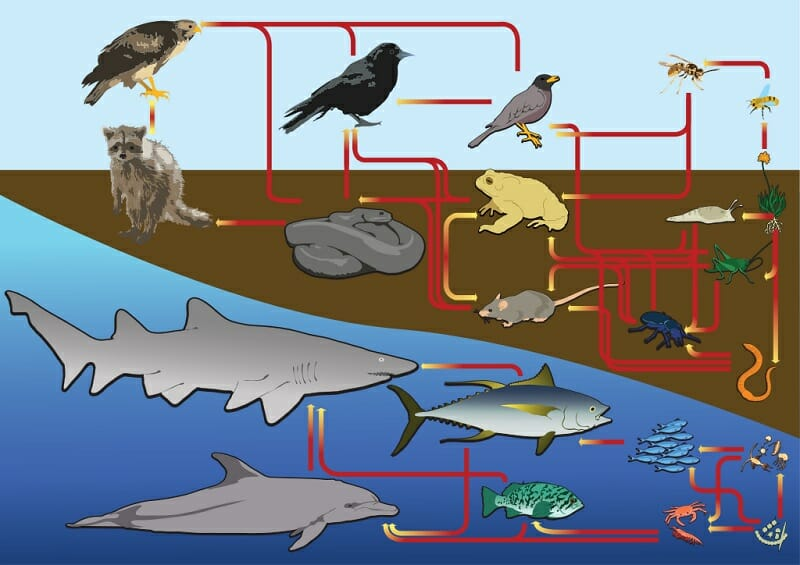 great white shark food chain diagram 95 s10 starter wiring free for you marine ecosystem definition and quiz simple