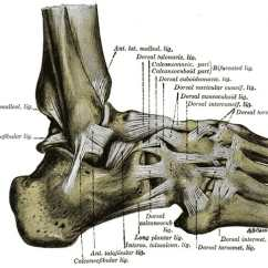 Bones In Your Foot Diagram Crf50 Cdi Wiring Anatomy Ligaments Muscles Tendons Arches And Skin Of The From Lateral Aspect