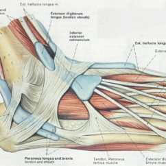 Bones In Your Foot Diagram 1984 Toyota Pickup Headlight Wiring Anatomy Ligaments Muscles Tendons Arches And Skin Here You Can See The That Extend Down Top Of Toward Toes Allowing To Curl Upward If Need Be