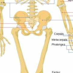 Human Bone Structure Diagram Hss Strat Wiring Skeleton Anatomy Overview Function And Biology