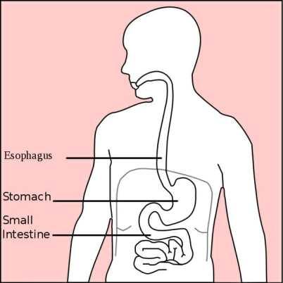 esquema sistema digestivo, estómago, esófago e intestino