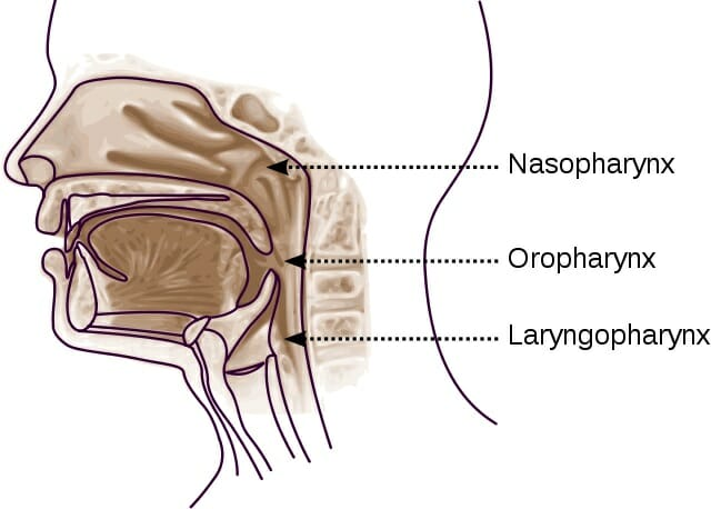 diagram of the nose and its functions mercury outboard motor 25ml sn op pharynx definition function location parts biology dictionary