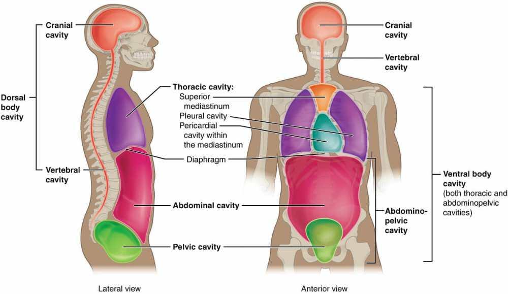 medium resolution of body cavities and organs biology dictionary diagram of body cavities diagram of body cavity