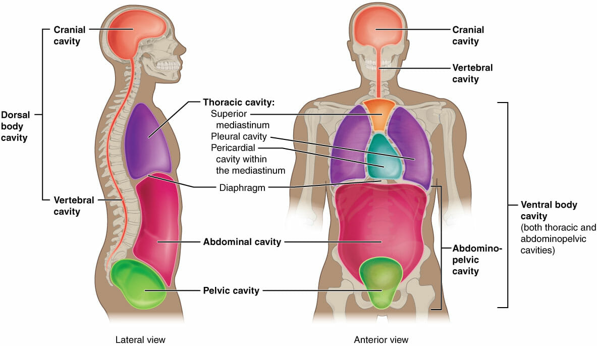 hight resolution of body cavities and organs biology dictionary diagram of body cavities diagram of body cavity