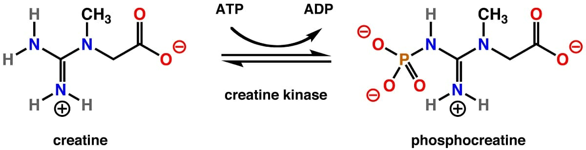 Creatine Kinase: Definition Function and Test | Biology ...