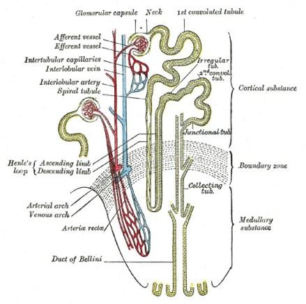 Animales Sistema de nefrona para la excreción