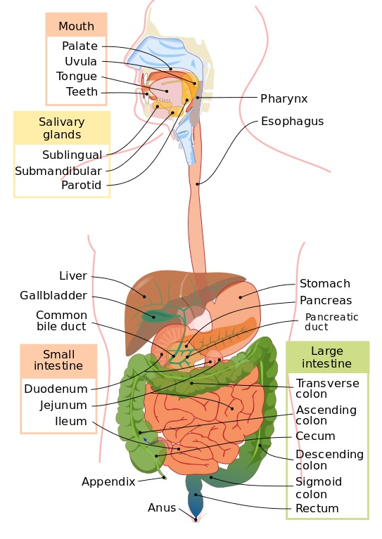 20 Fun Facts about the Digestive System | Biology Dictionary