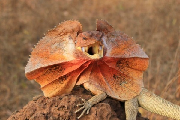 Frilled Lizard - Facts and Beyond | Biology Dictionary