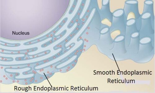 image of Rough and smooth ER