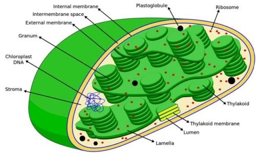 image of structure of chloroplast