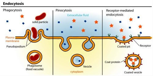 image of function of lysosome