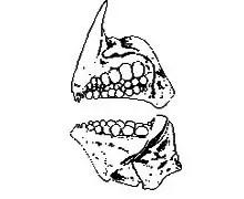 image of Molar teeth