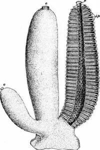 image of Scypha