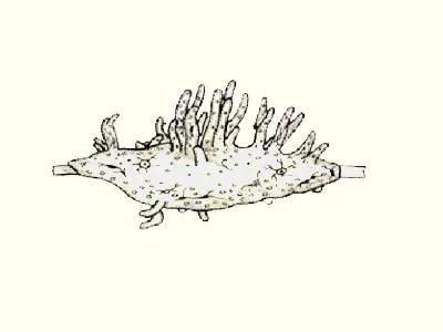 image of spongilla