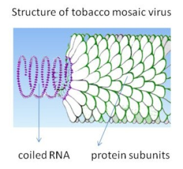 image of Tobacco Mosaic Virus (TMV)
