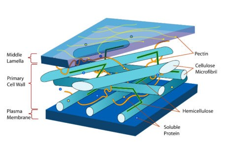 image of Diagram of Plant cell Wall