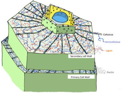 image of Image Showing Cell wall and chemical composition
