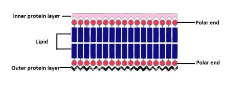 image of The unit membrane model of Robertson