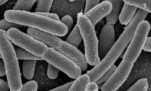 image of Denitrifying Bacteria